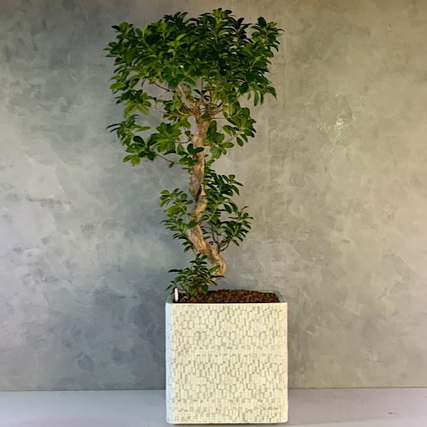 هيدروكسيل بونساي 'نباتات داخلية'