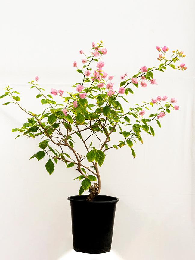 Bougainvillea Sanderiana Light Pink Outdoor Plants