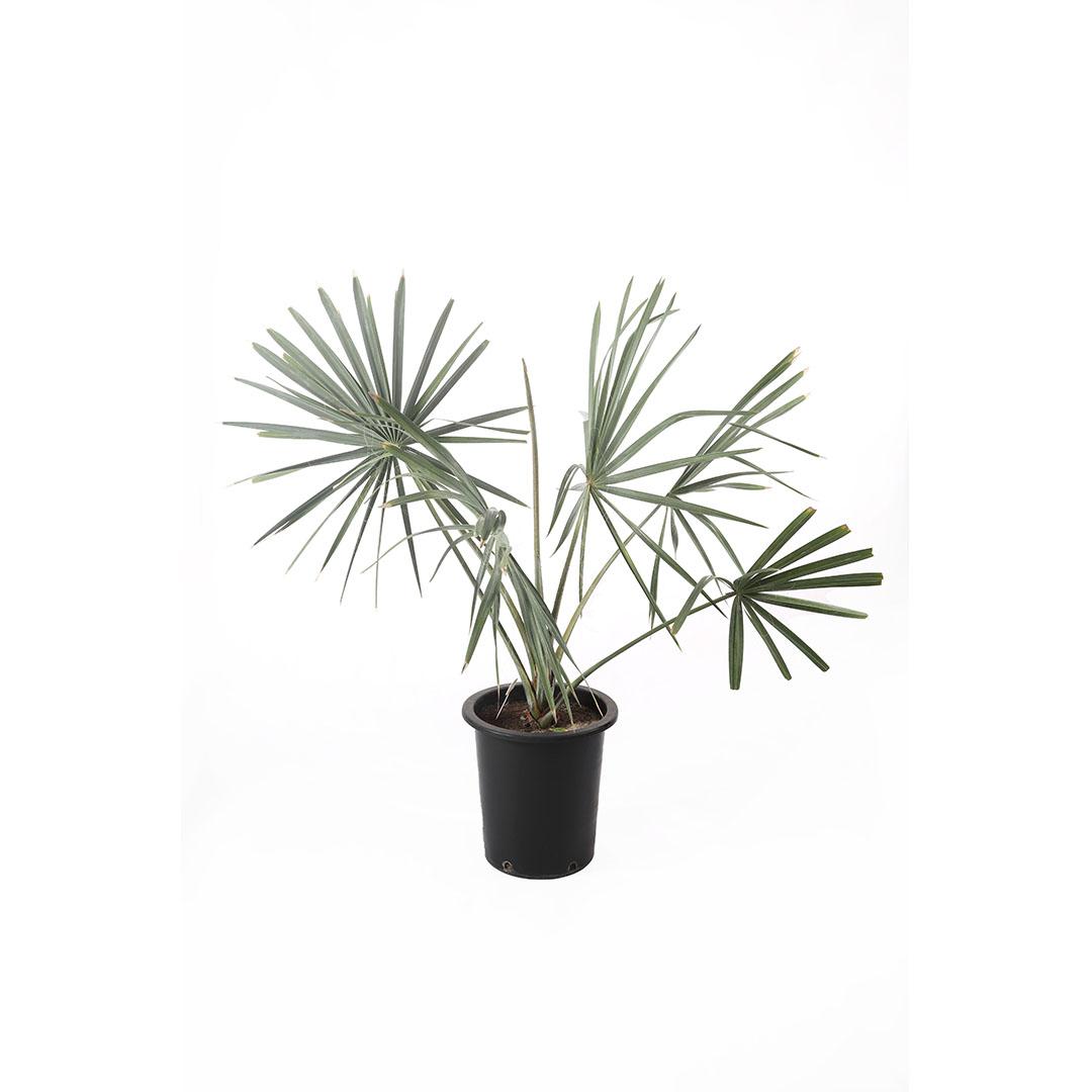 Bismarckia Nobilis -1 Outdoor Plants