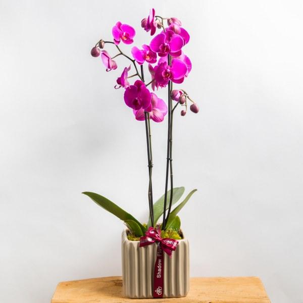 orchid - Fuchsia  Premium Collection