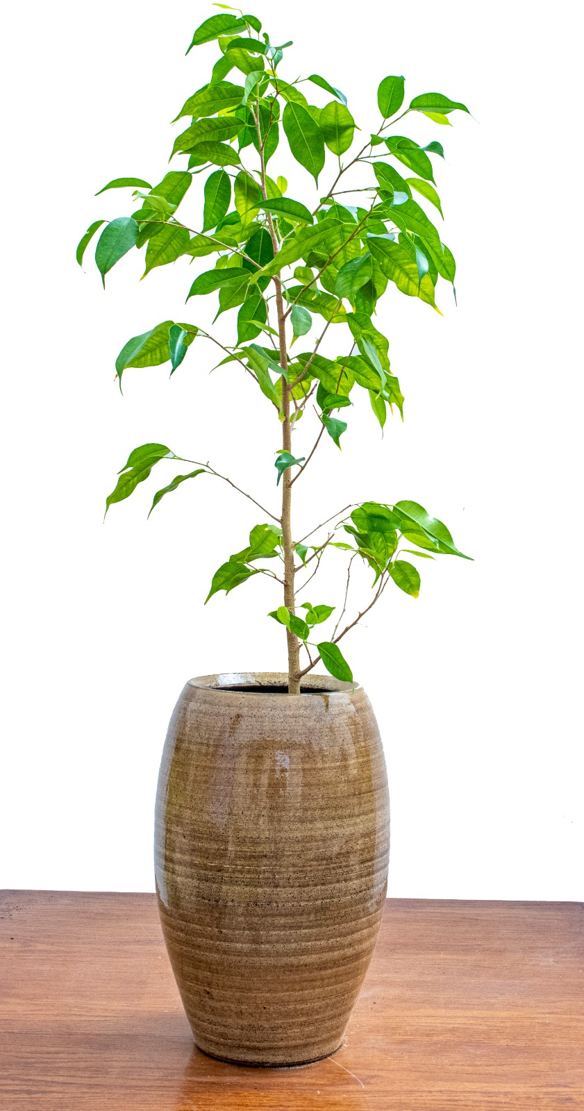 Ficus benjamina Office Plants