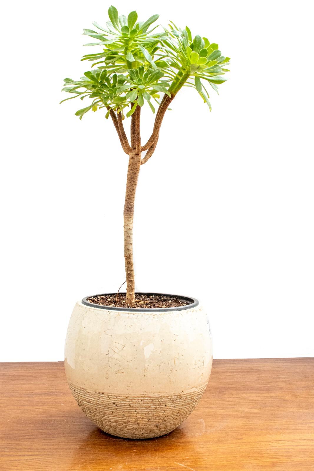 Aeonium Arboreum - Green   Office Plants