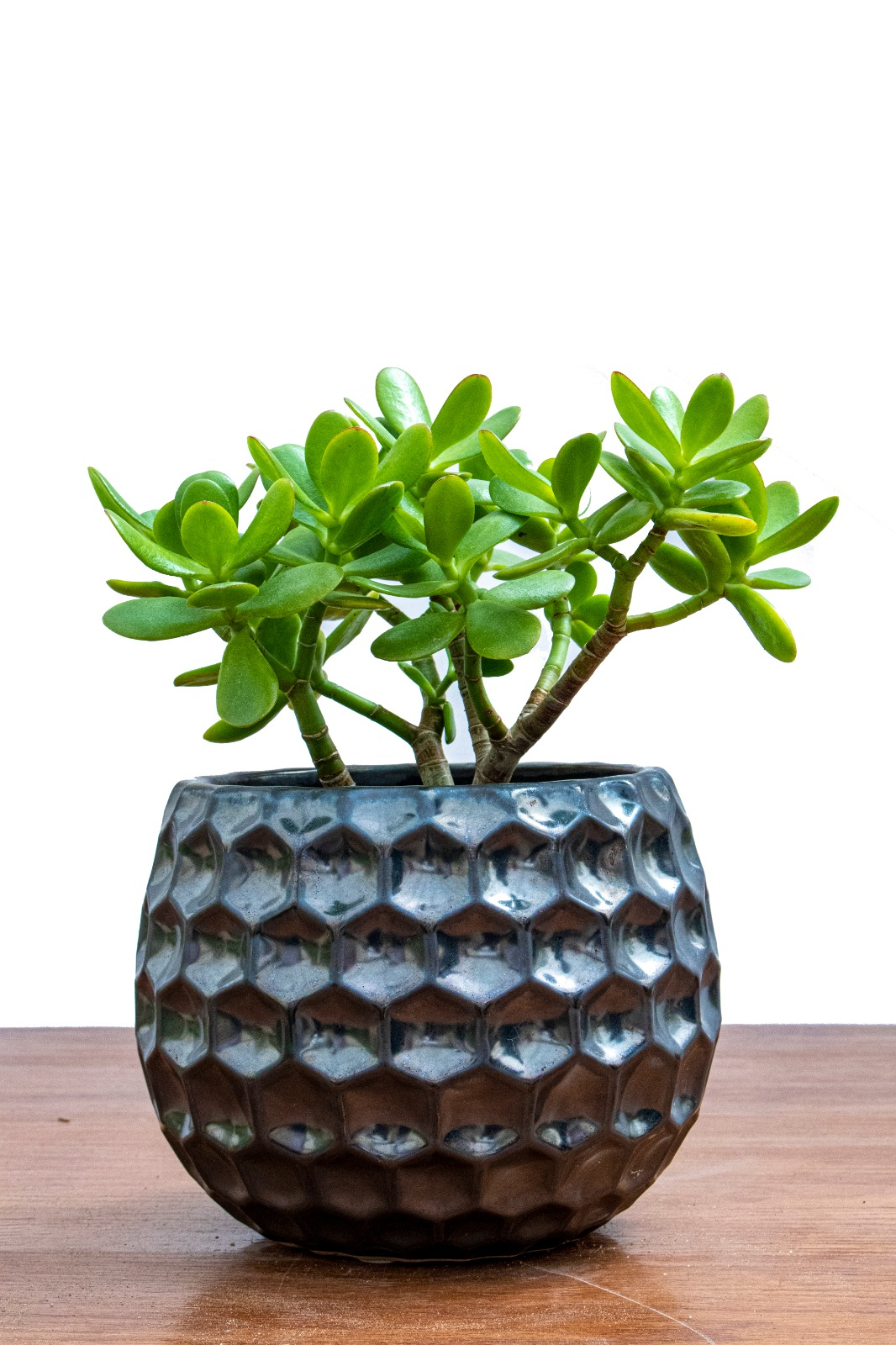 Crassula Ovata - Small Office Plants