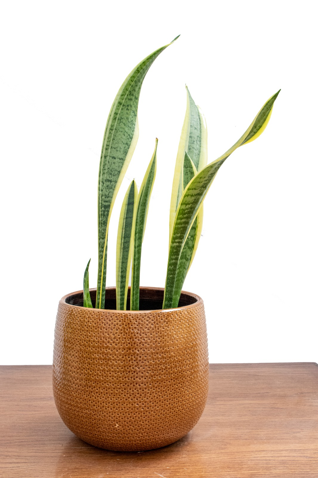 Sansevieria Trifasciata Office Plants