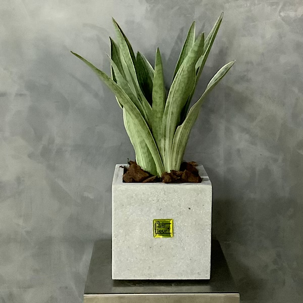 Sanseveria silver Premium Collection