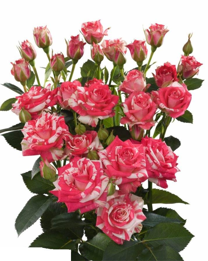 Firework Spray Rose  Wholesale Flowers