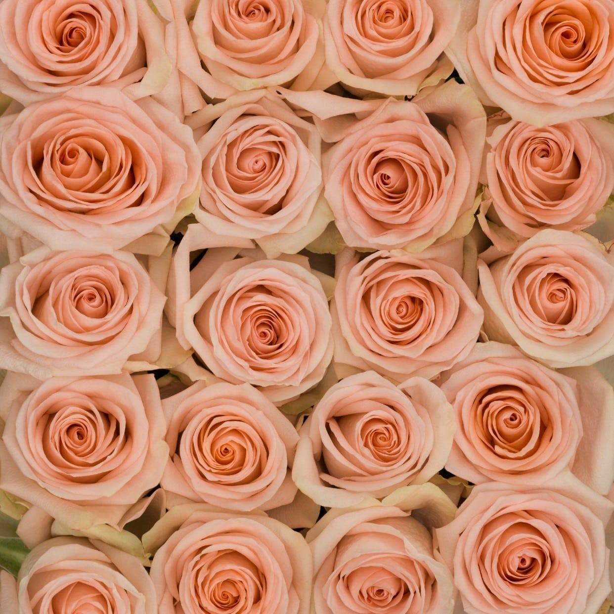جوري - مشمشي  الزهور بالجملة