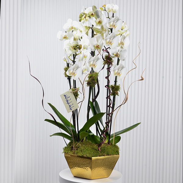 orchid greeting  Premium Collection
