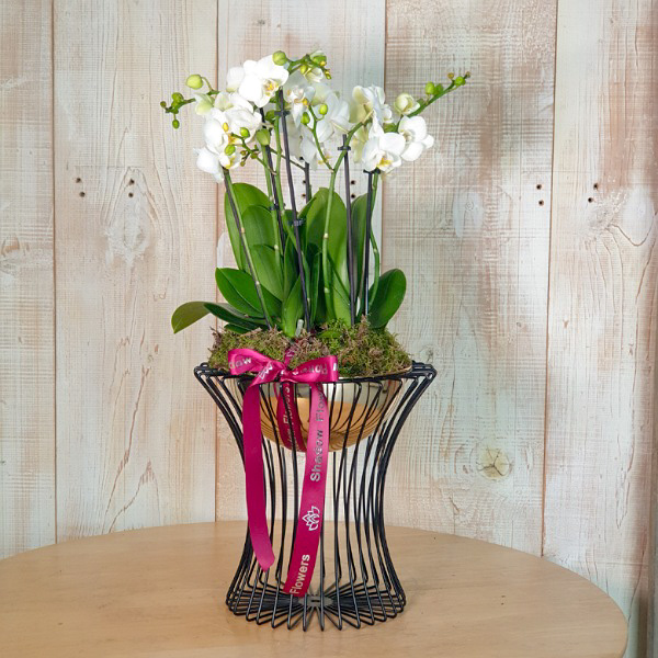 Black&Gold Orchids Premium Collection