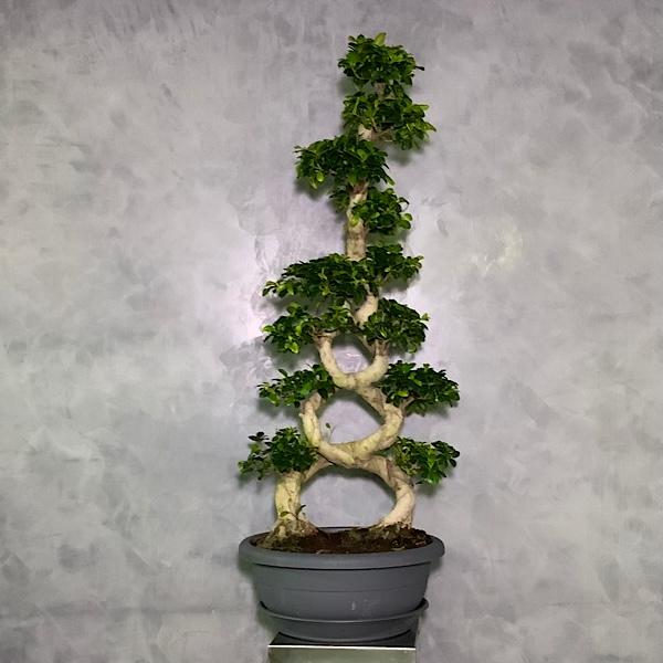 Eiffel bonsai Premium Collection