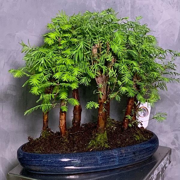 Metasequoia bonsai Premium Collection