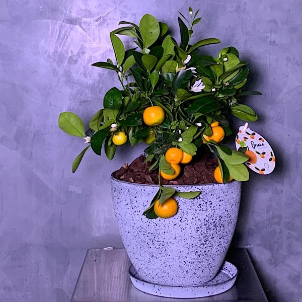 citrus bonsai tree Premium Collection