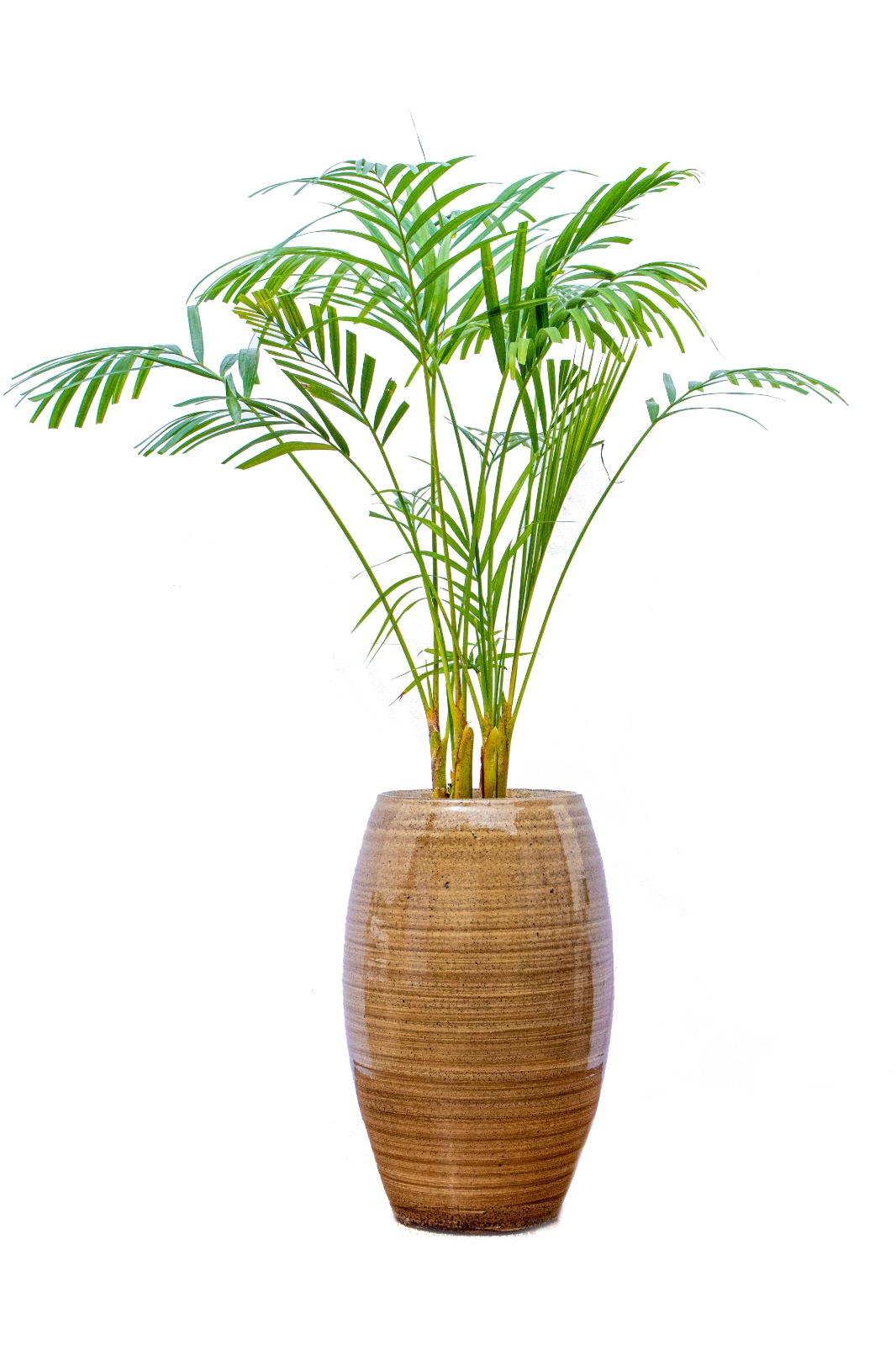 Dypsis Lutescens - Small Premium Collection