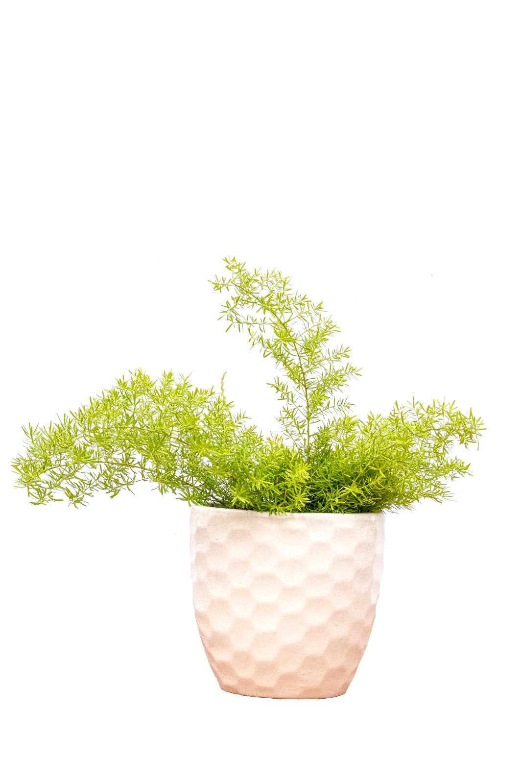 Asparagus Sprengeri  Premium Collection