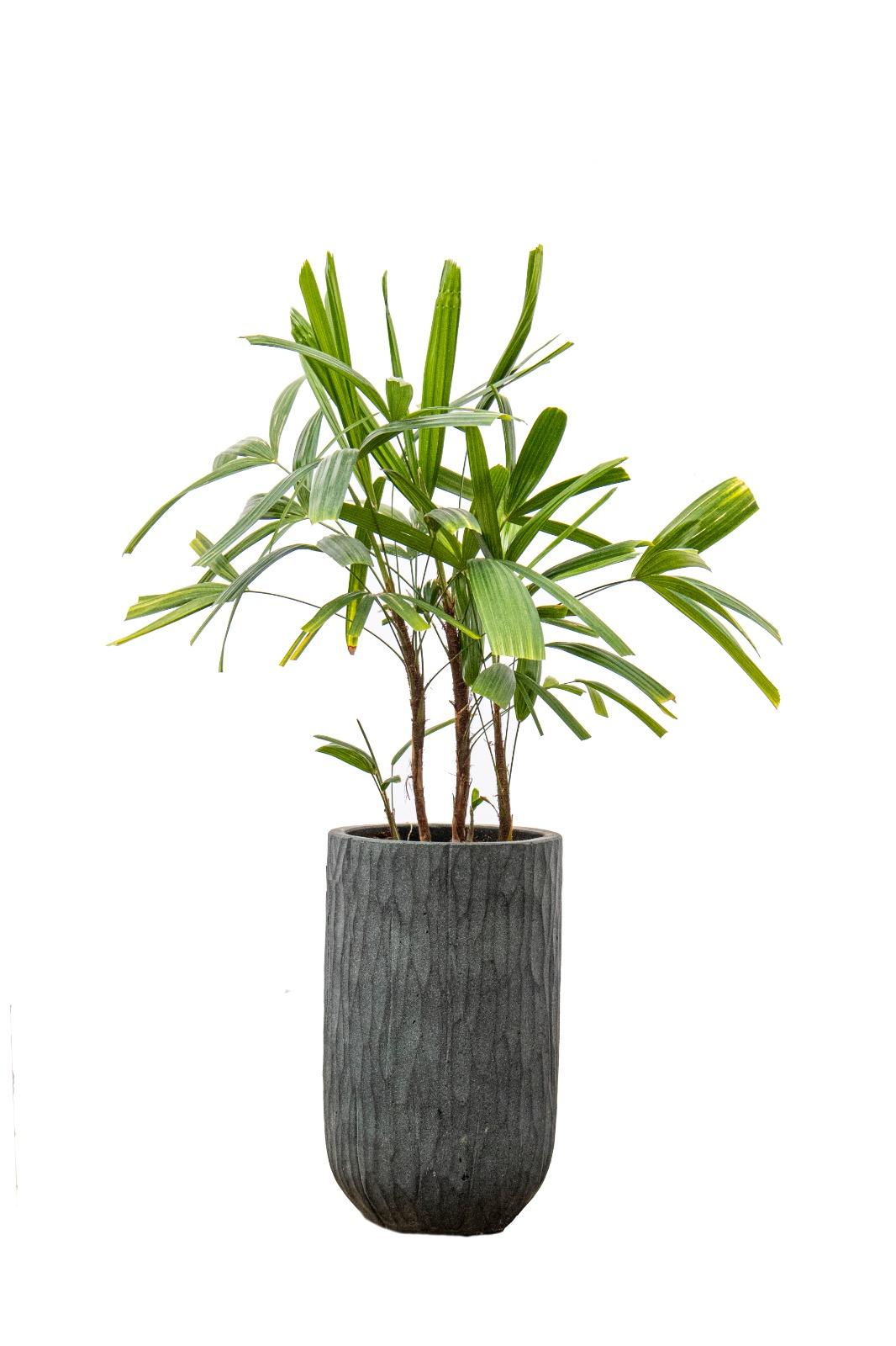 Raphis Palm Premium Collection