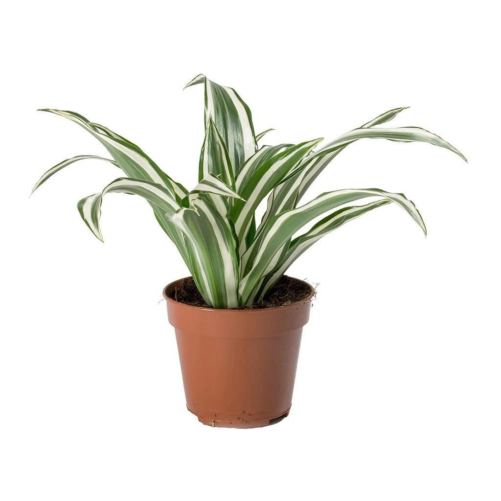 دراسينا  نباتات داخلية