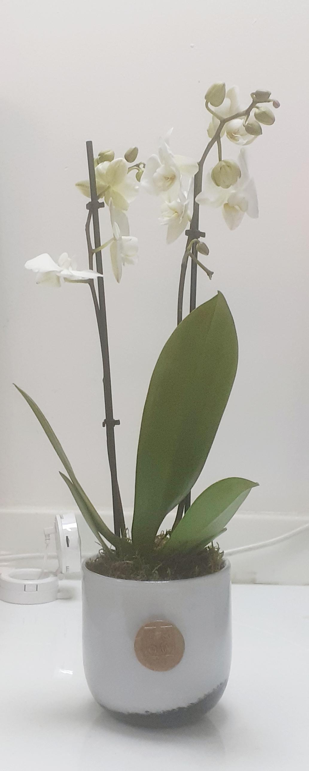 Mini Orchid 2 Office Plants