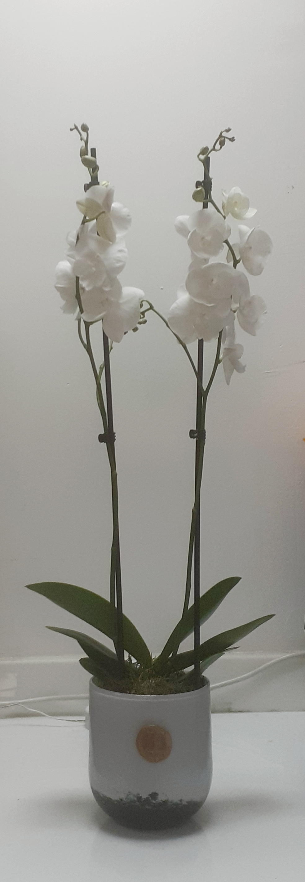 Orchid - White 'Indoor Plants'