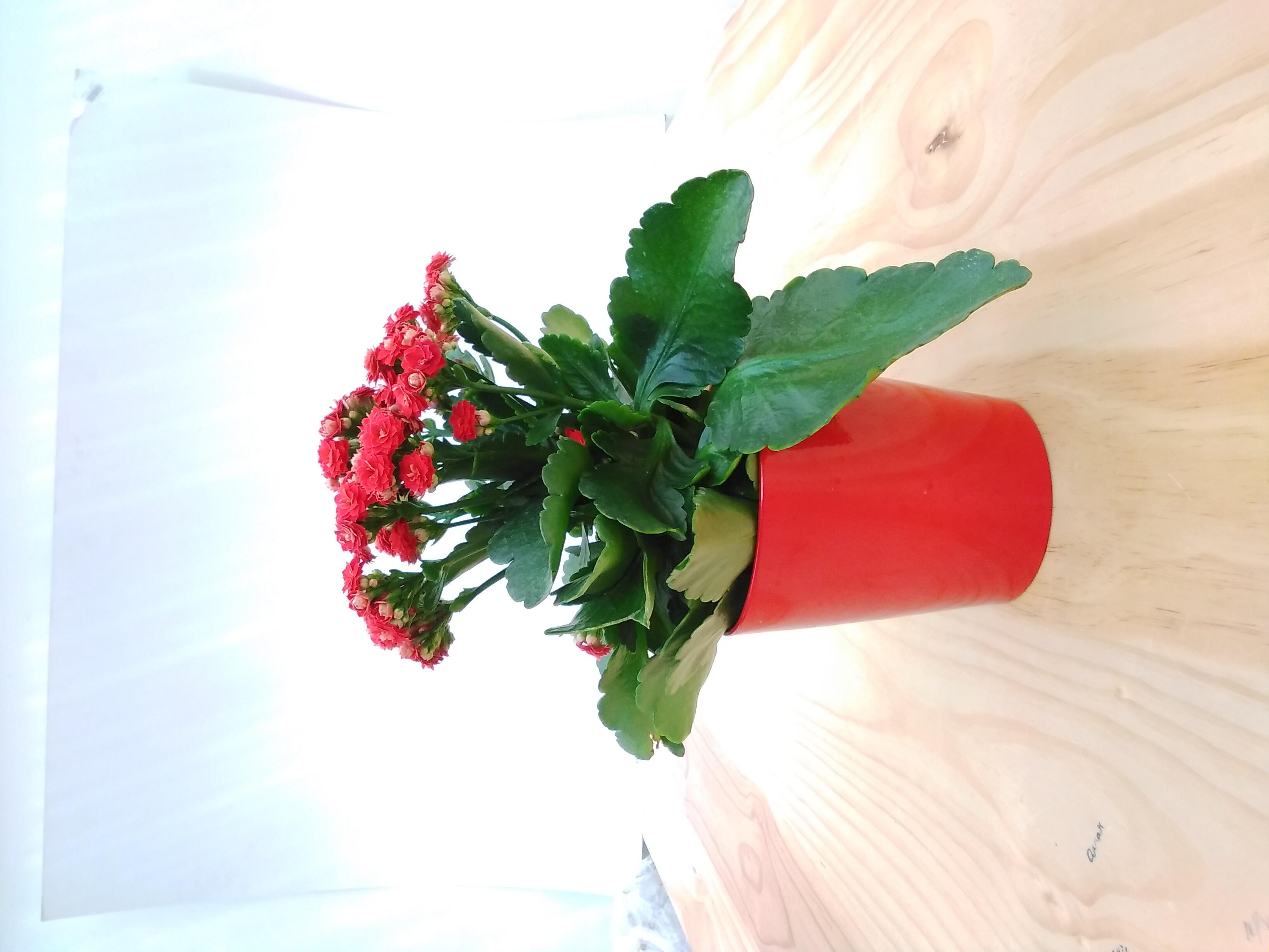 Kalanchoe Pink 'Indoor Plants'