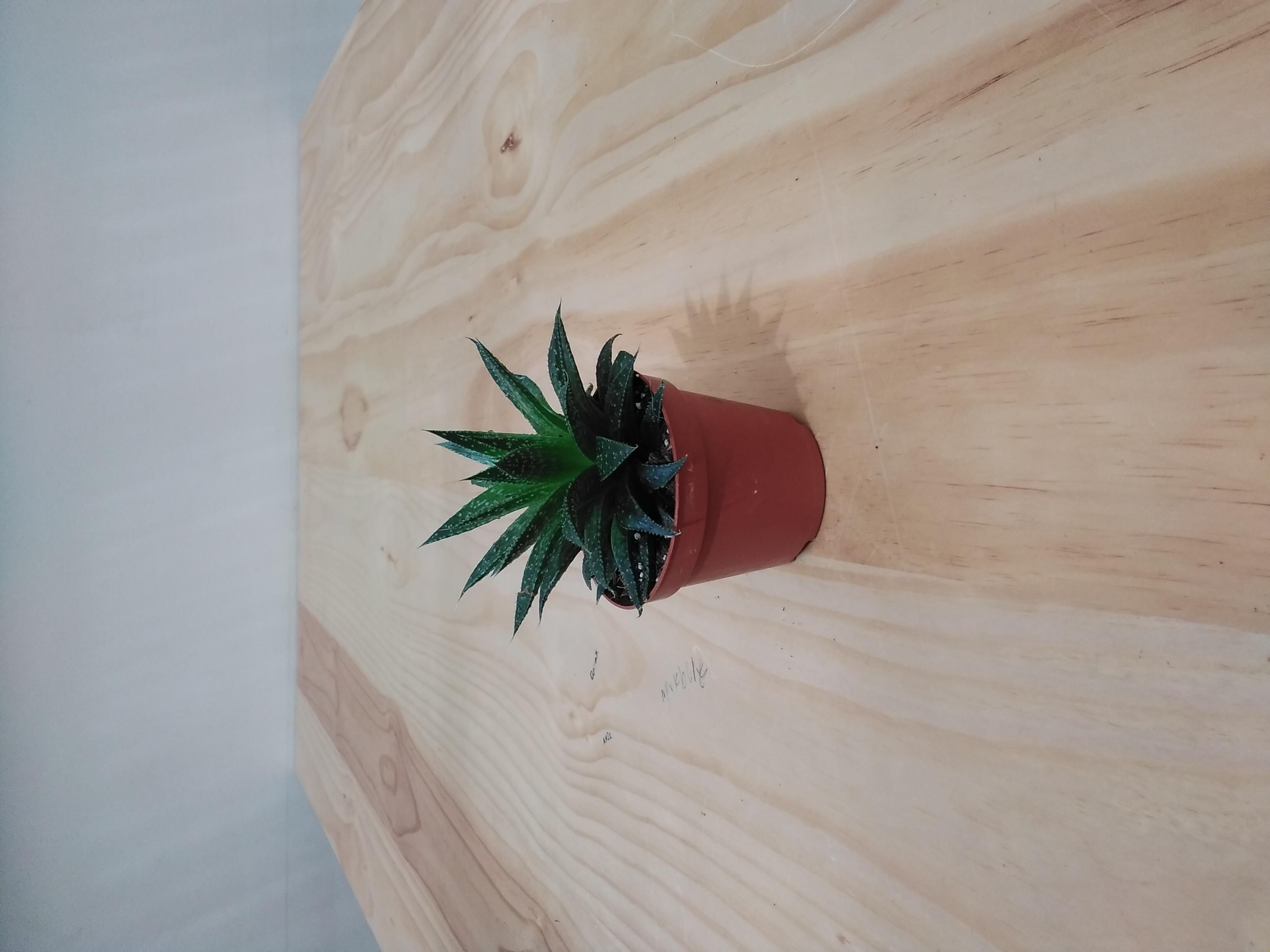 الألوة المبرقشة نباتات داخلية