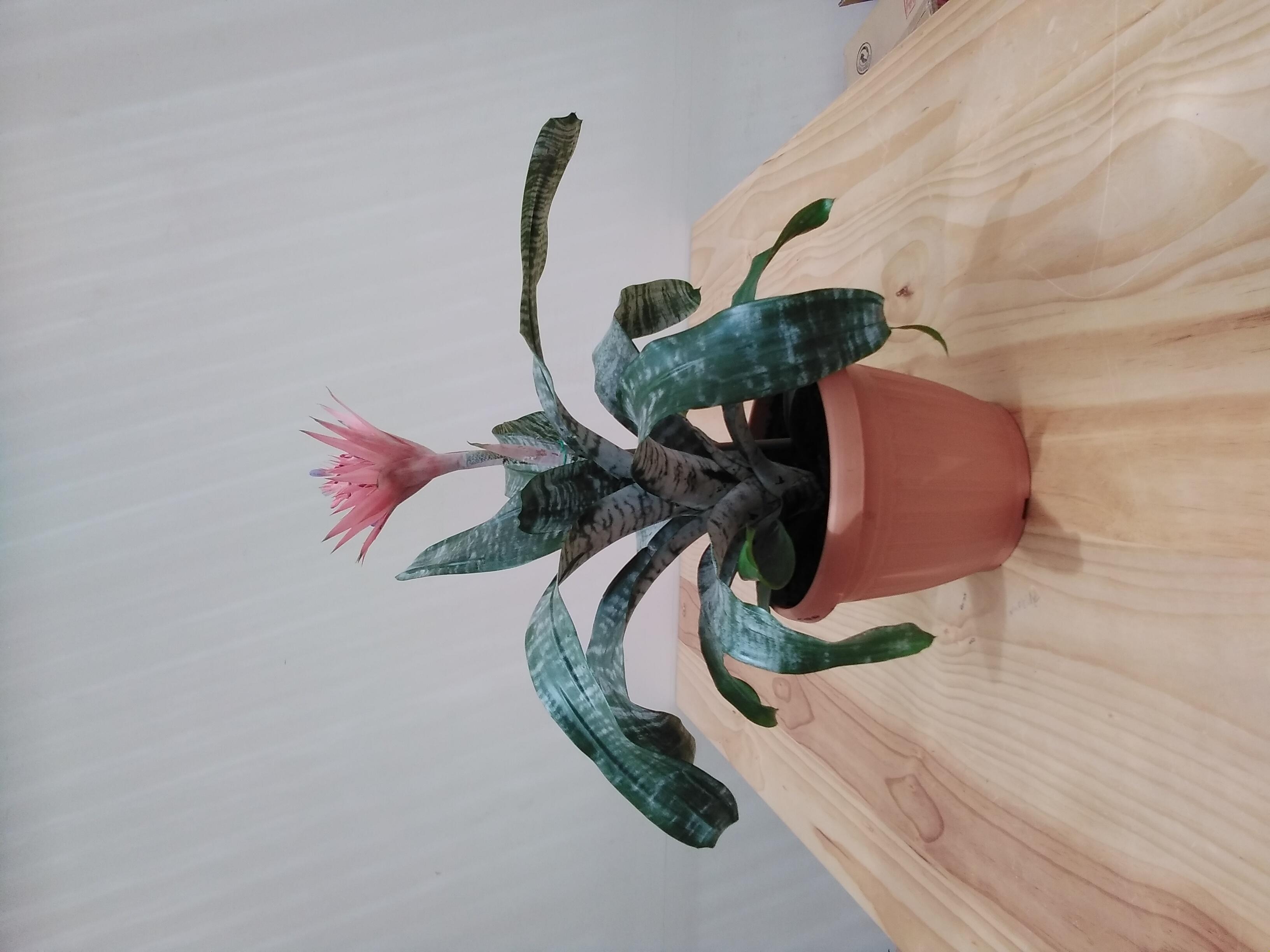Aechmea Mixed 'Indoor Plants'