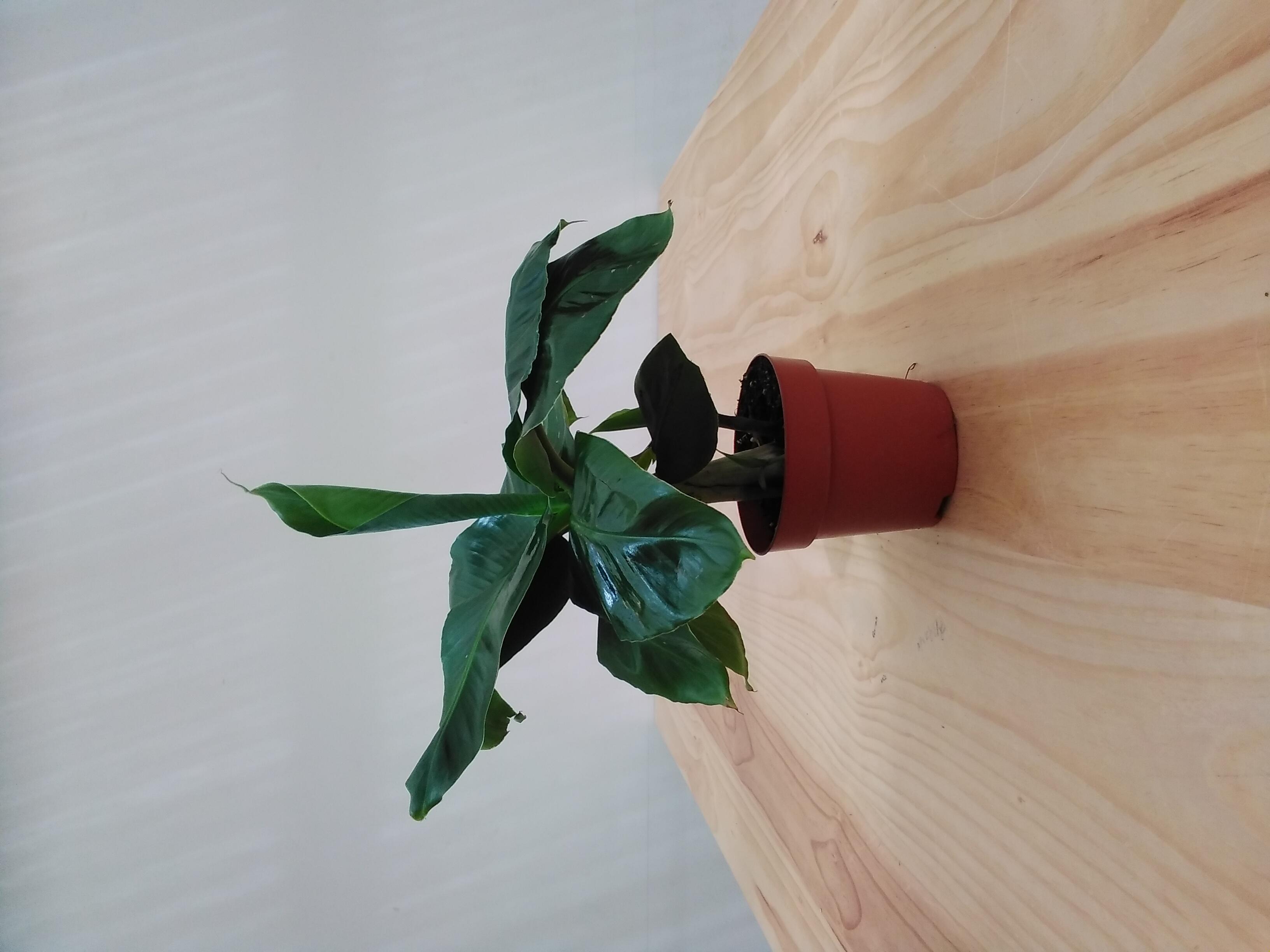 موسى القزم كافنديش نباتات داخلية