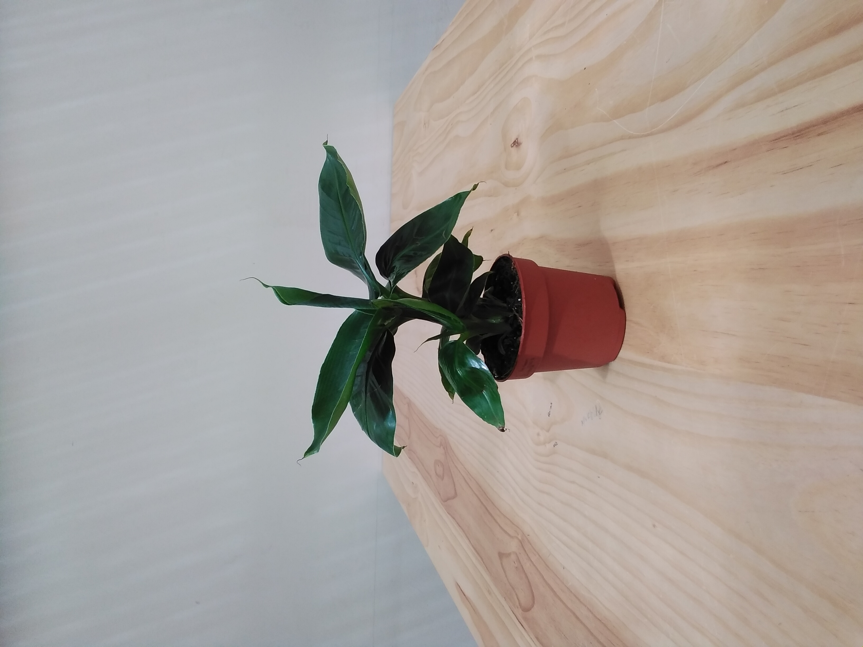 موسى القزم نباتات داخلية