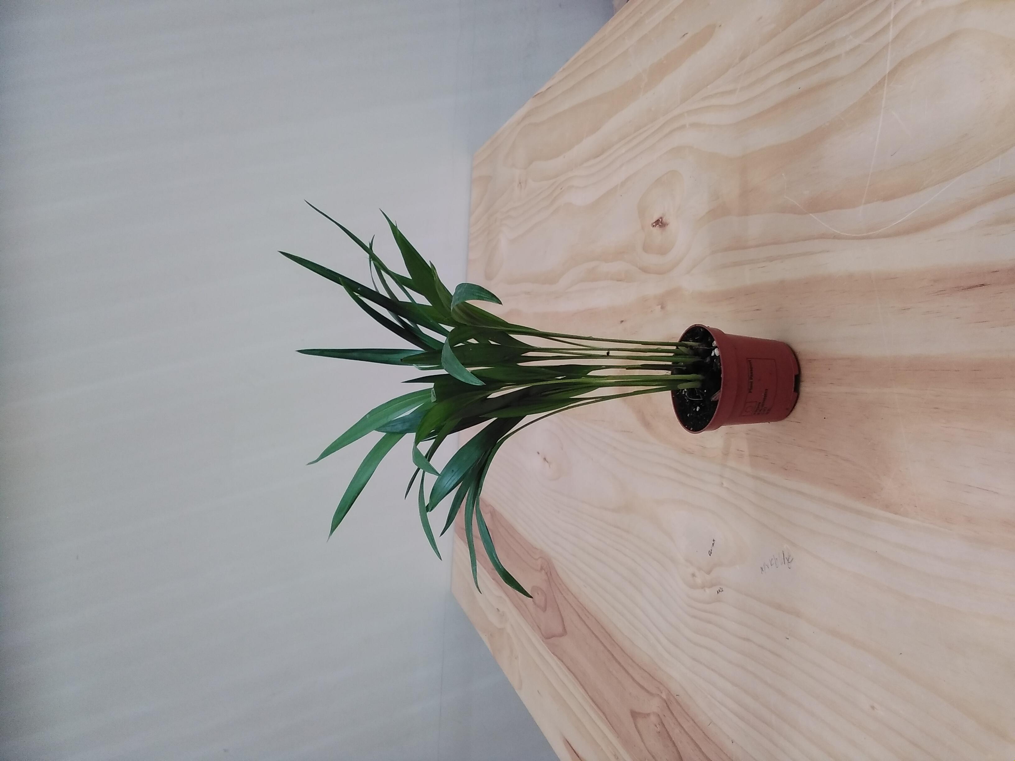 أريكا دايبيسيس  'نباتات داخلية'