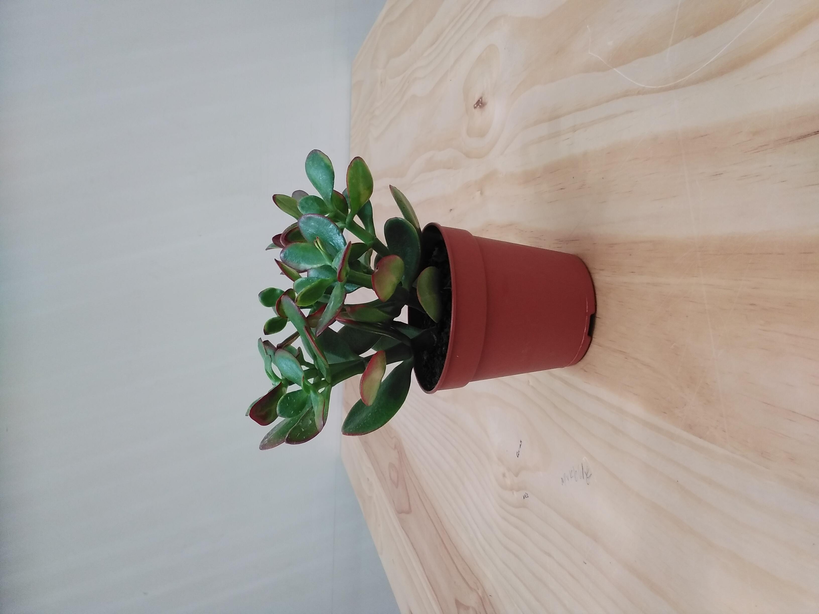 كراسولا بورتولاسيا نباتات داخلية