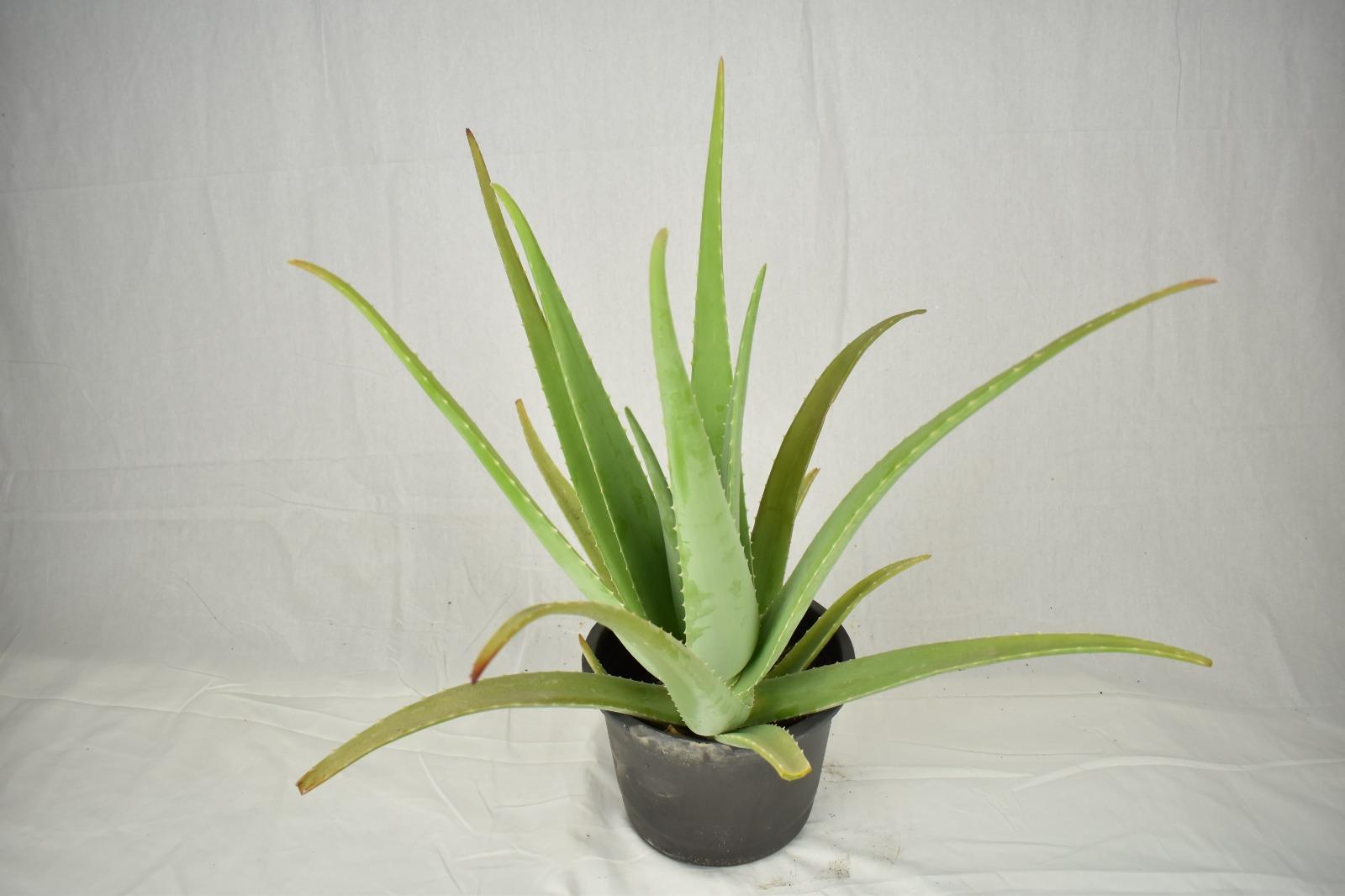 صبر حقيقي نباتات داخلية