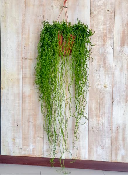 الأيفوربيا  نباتات داخلية