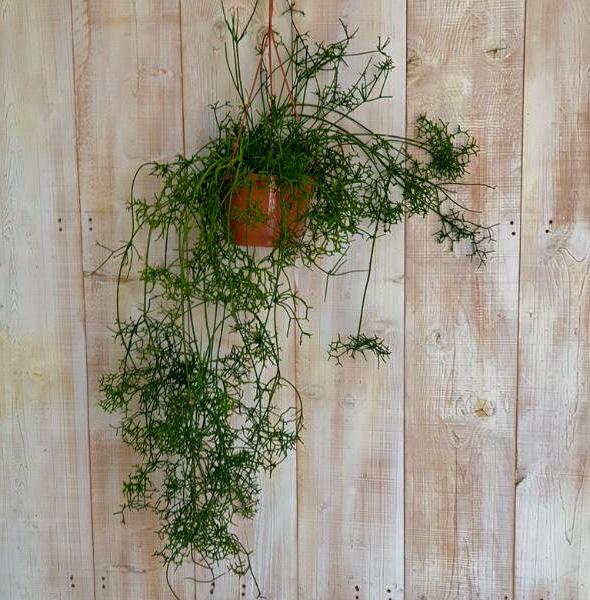 ريبساليس المعلق نباتات داخلية