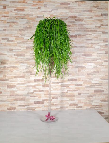 صبار الهدال - نبات معلق نباتات داخلية