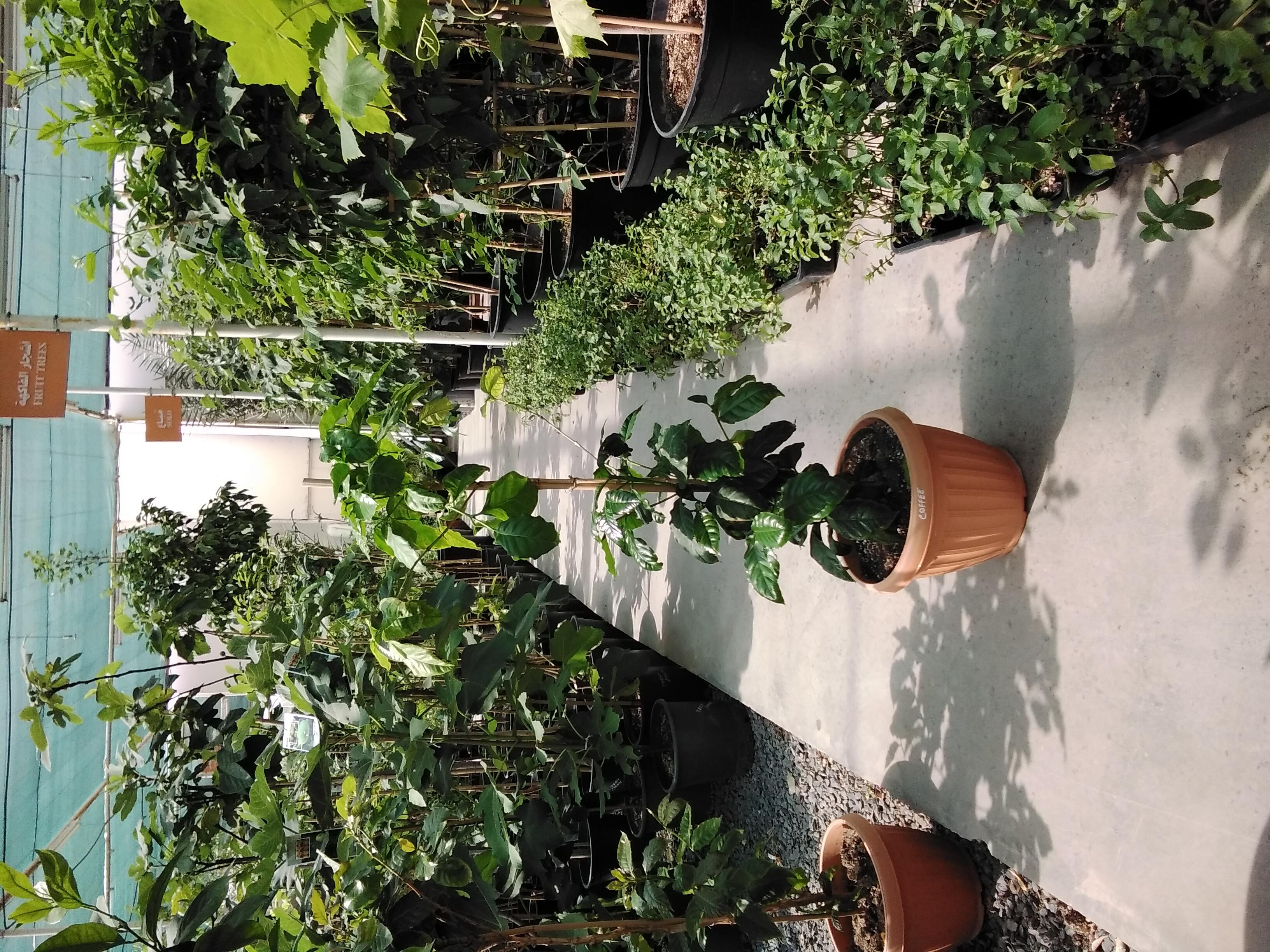 شجرة القهوة نباتات خارجية
