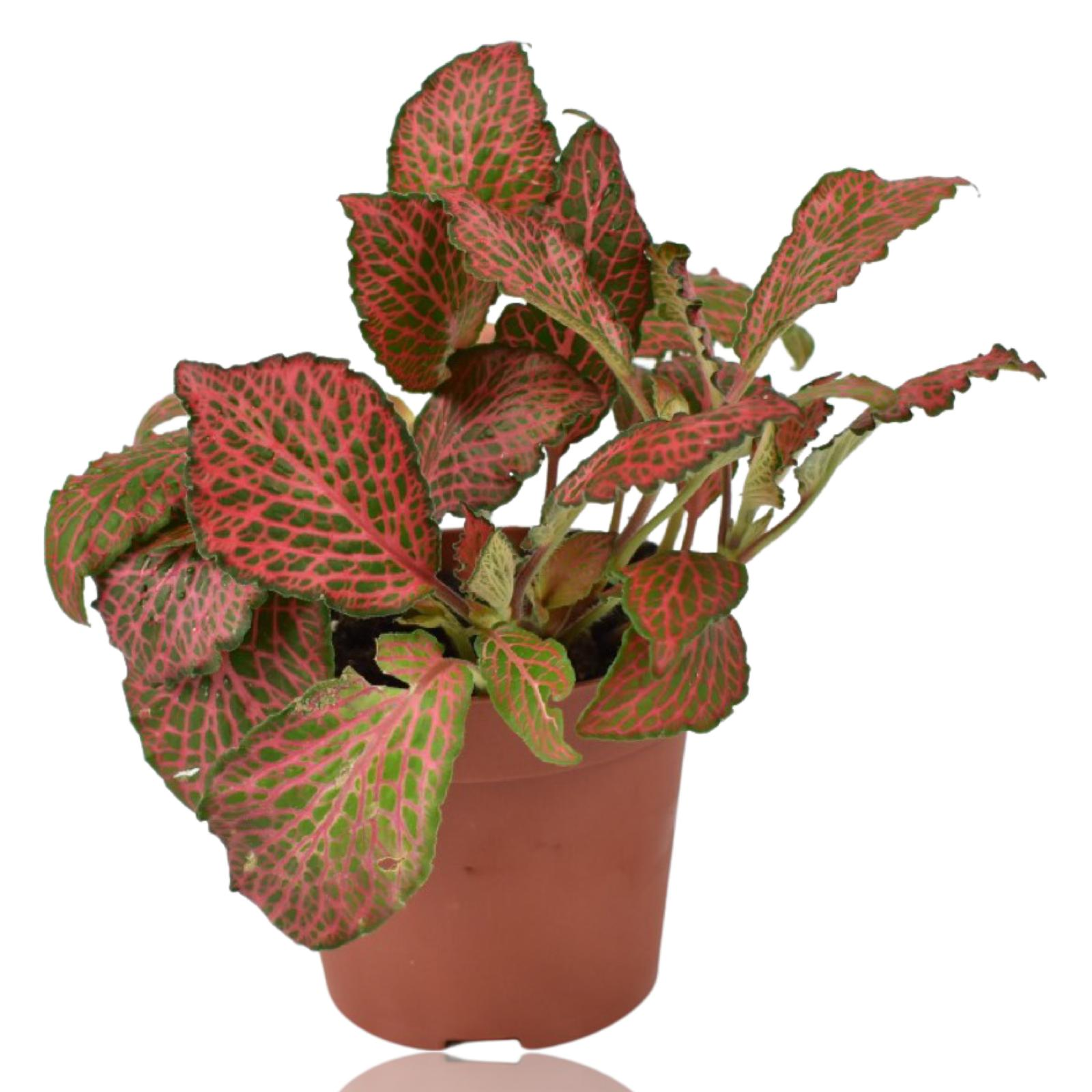 Fittonia Salmon - Ruby Lime Indoor Plants
