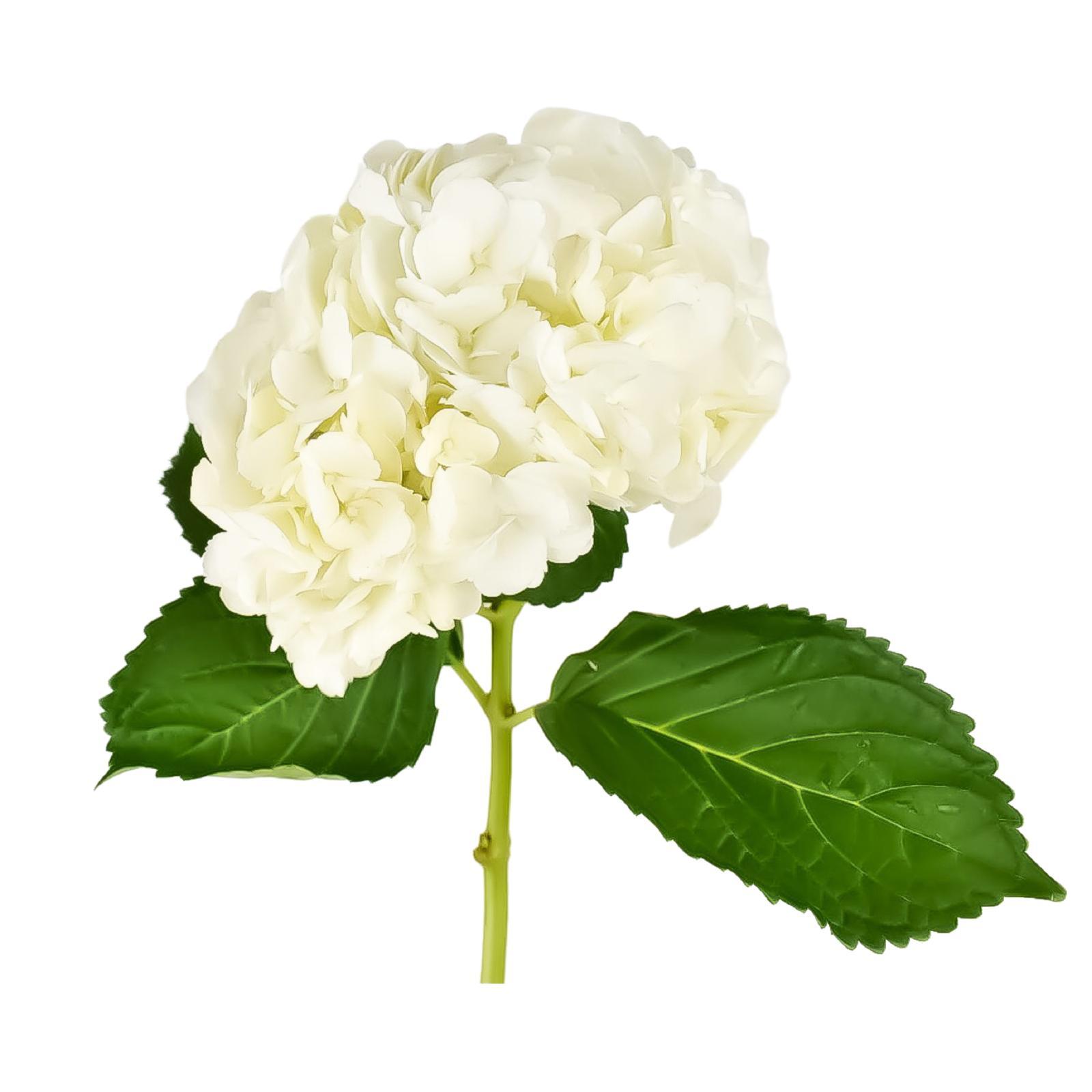 الكوبية  أبيض  الزهور بالجملة