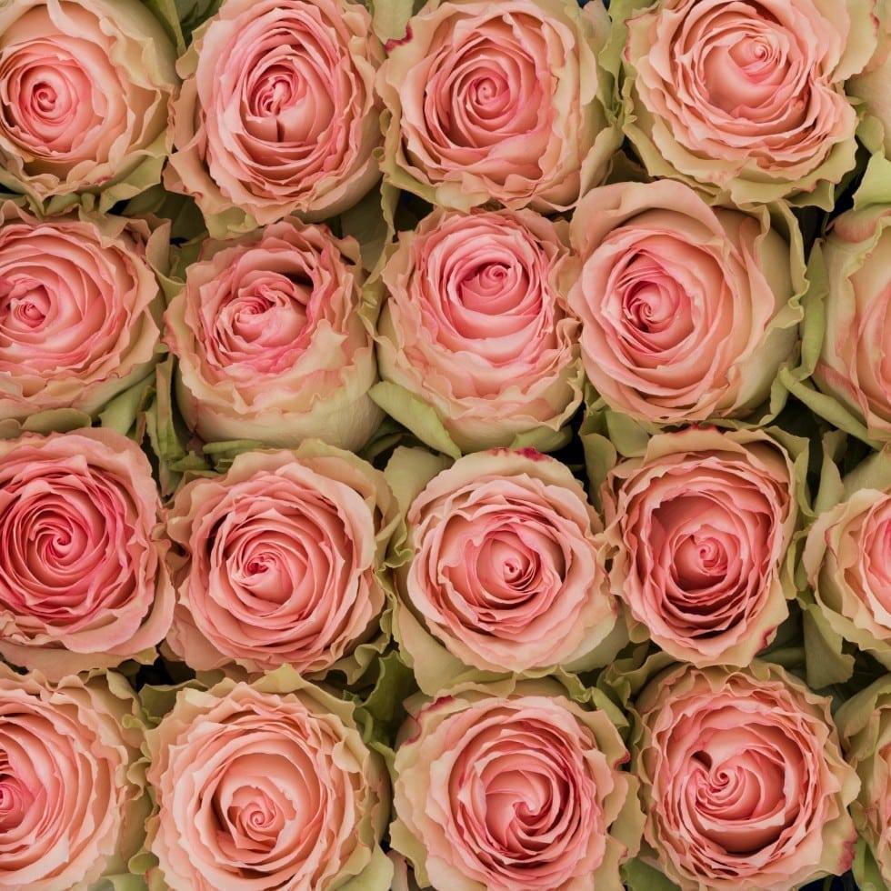 وردي أخضر وردي  الزهور بالجملة