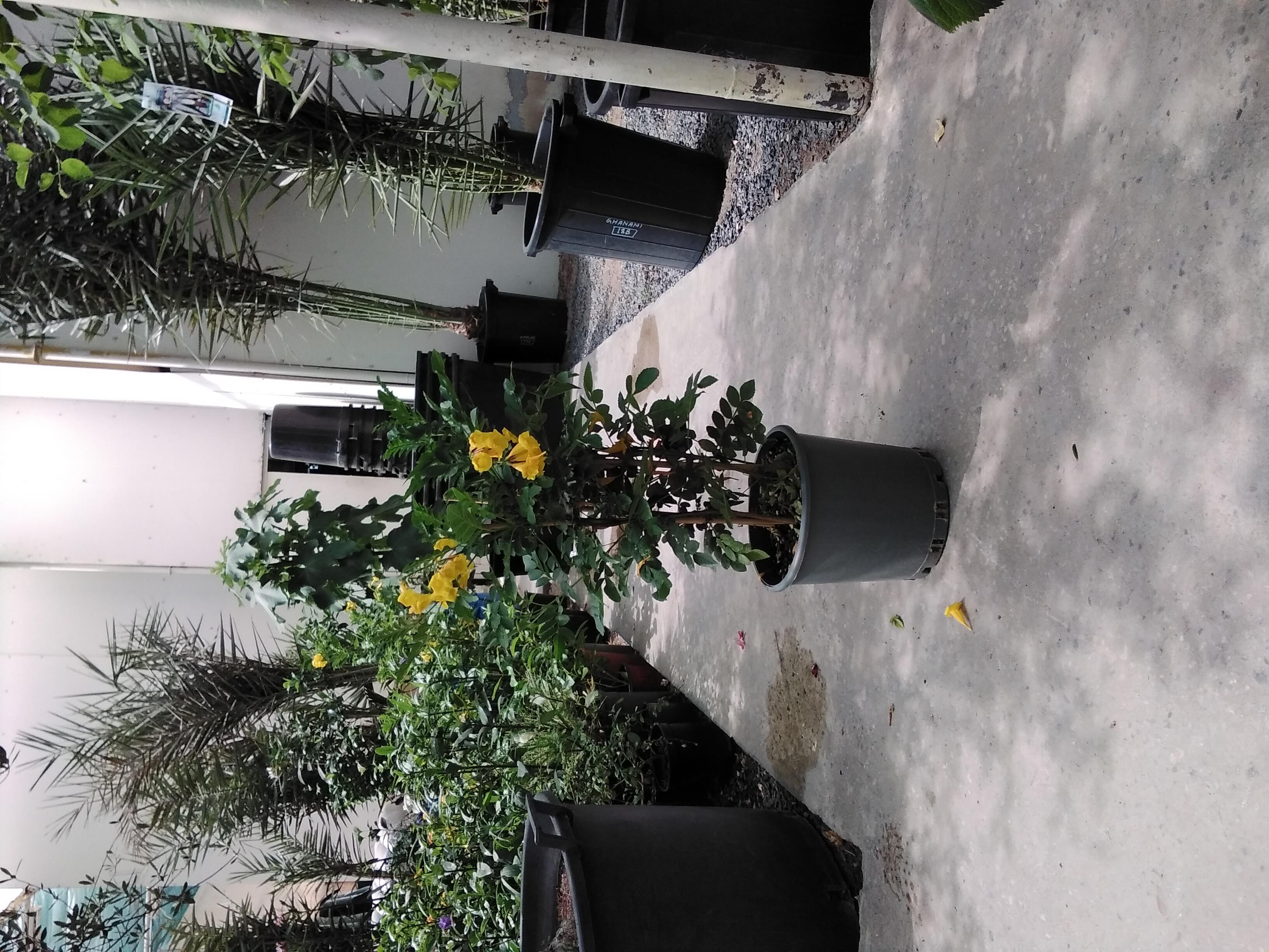 Tecoma  'Outdoor Plants'