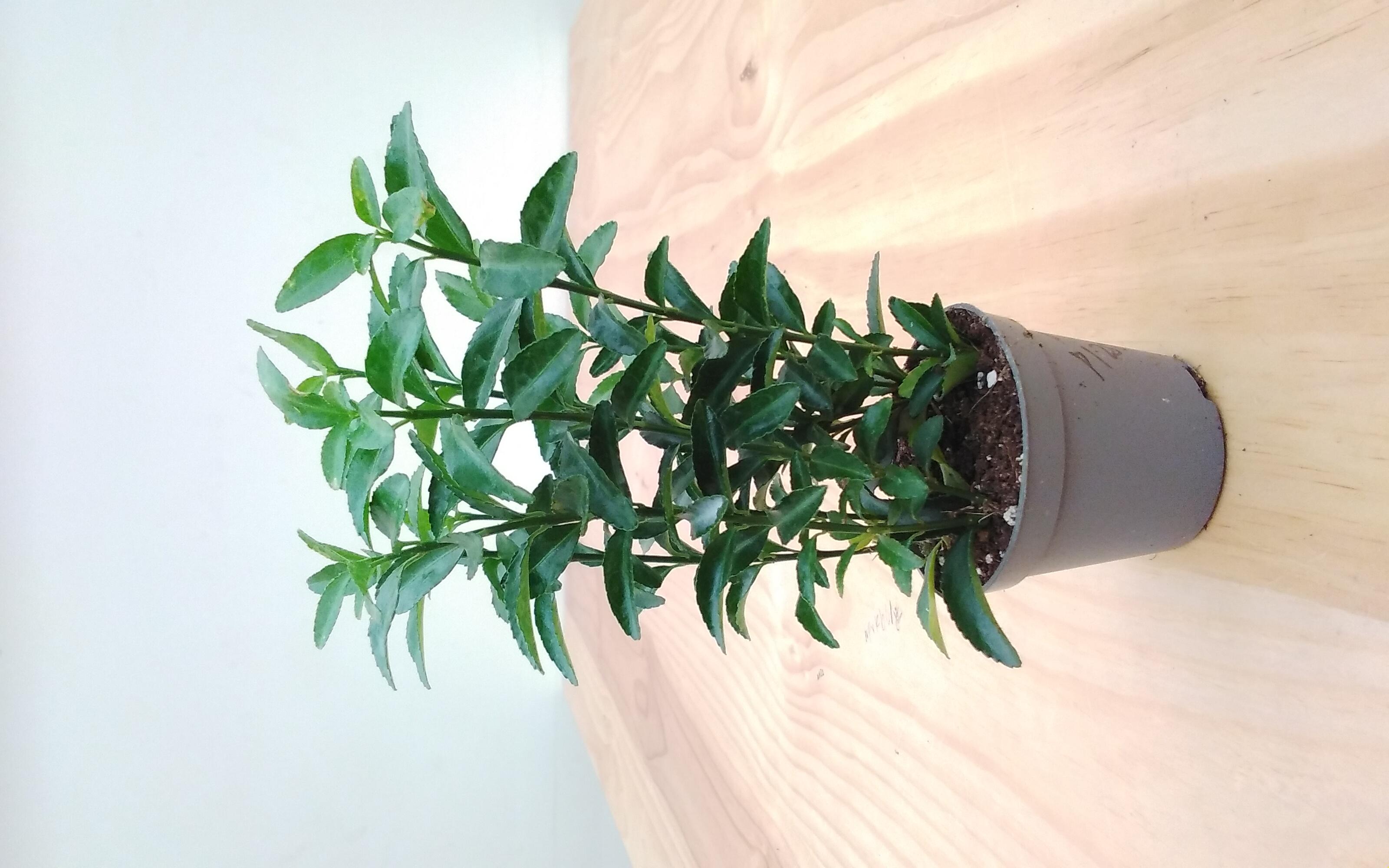 Euonymus Jap. Mixed Green Indoor Plants