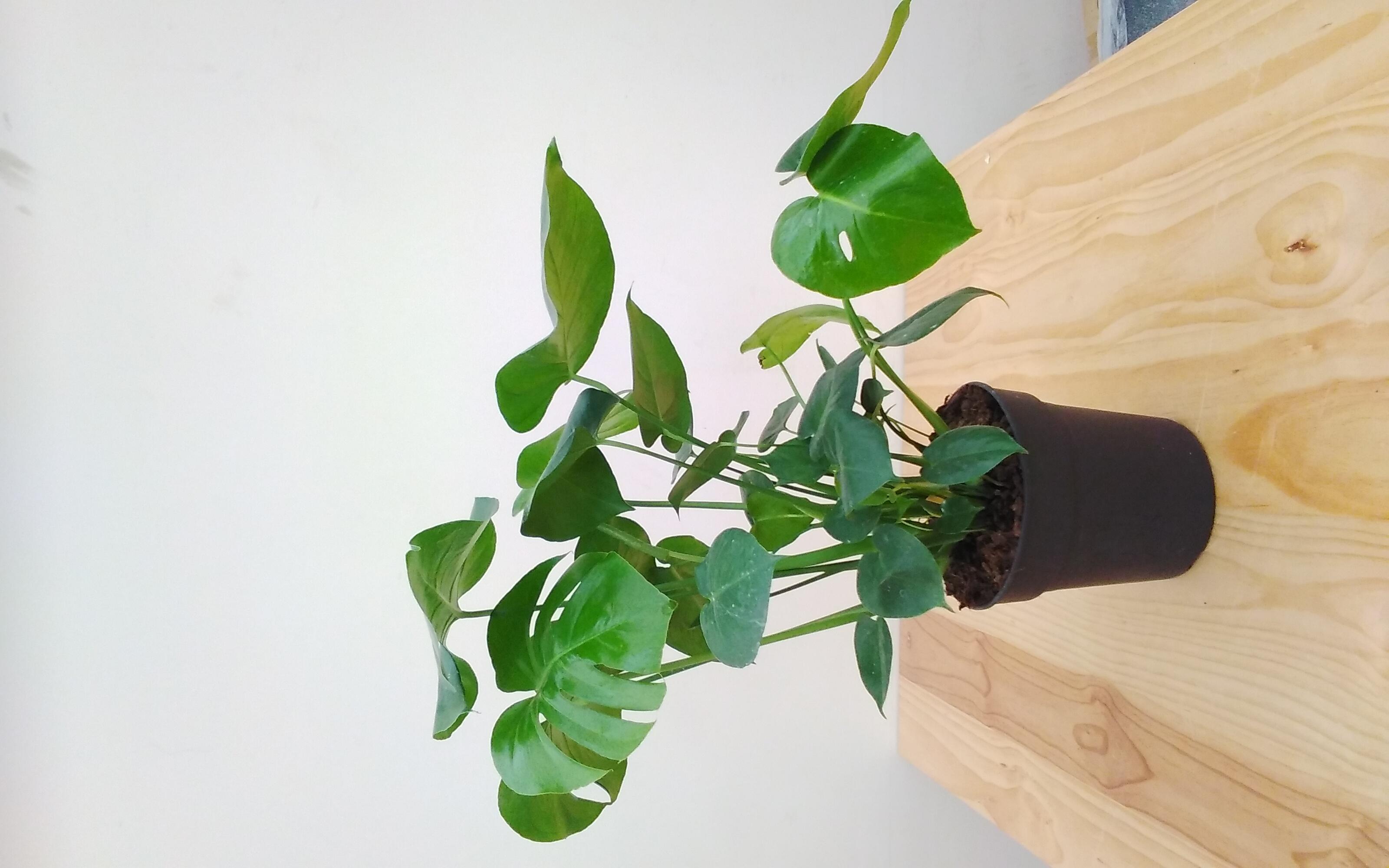 Monstera Deliciosa Large GP Indoor Plants
