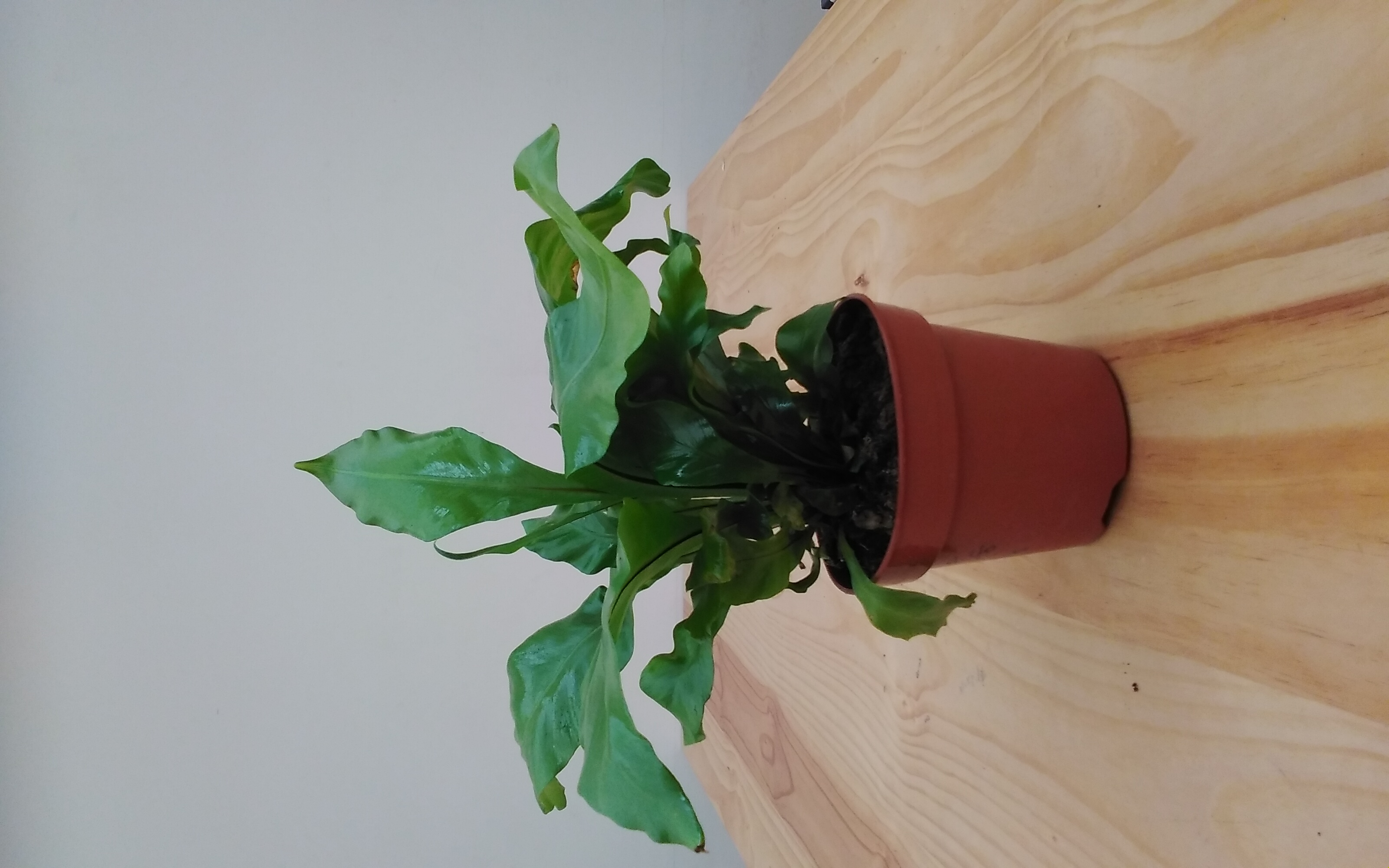 Asplenium Antiquum 'Indoor Plants'