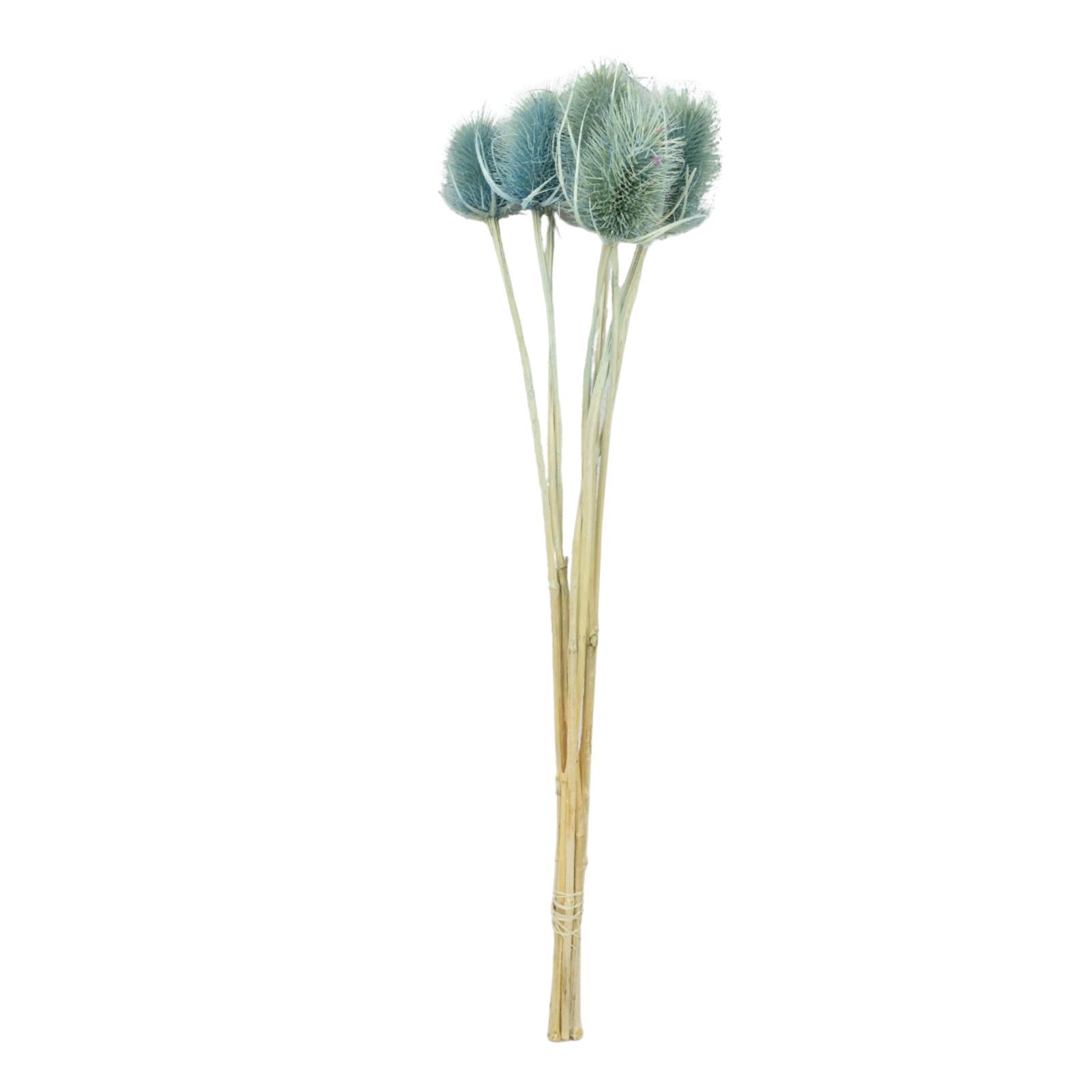 Dipsacus - Blue Wholesale Flowers