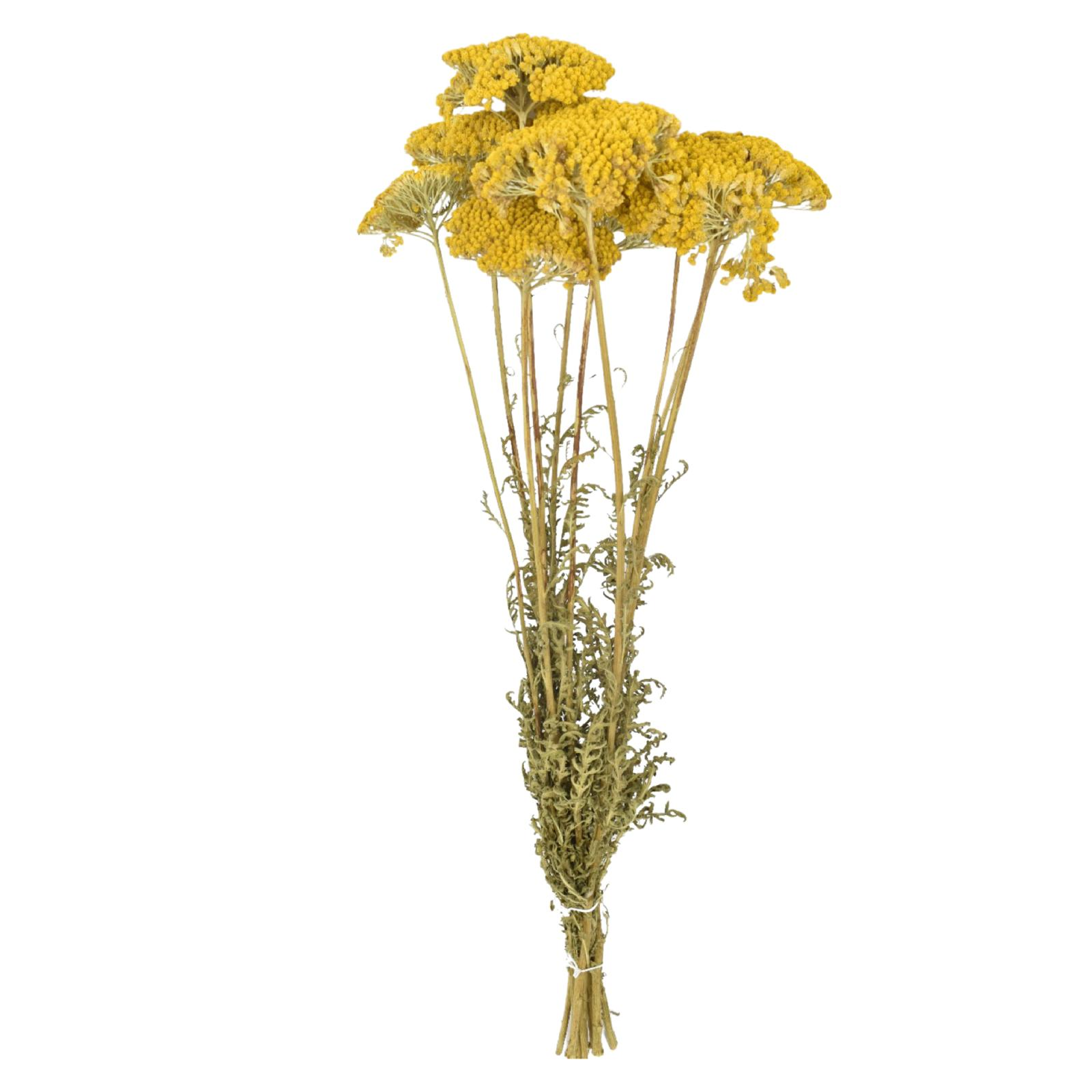 Dried Achillea - Yellow Wholesale Flowers