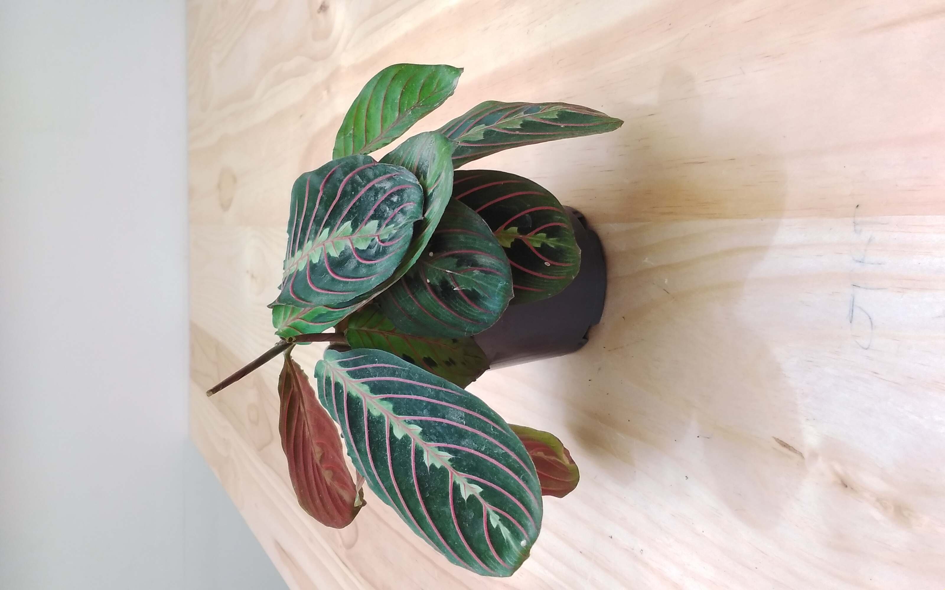 Maranta Leuconeura 'Indoor Plants'