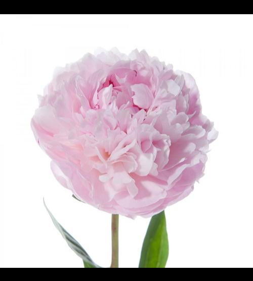 الفاوانيا - وردي  الزهور بالجملة