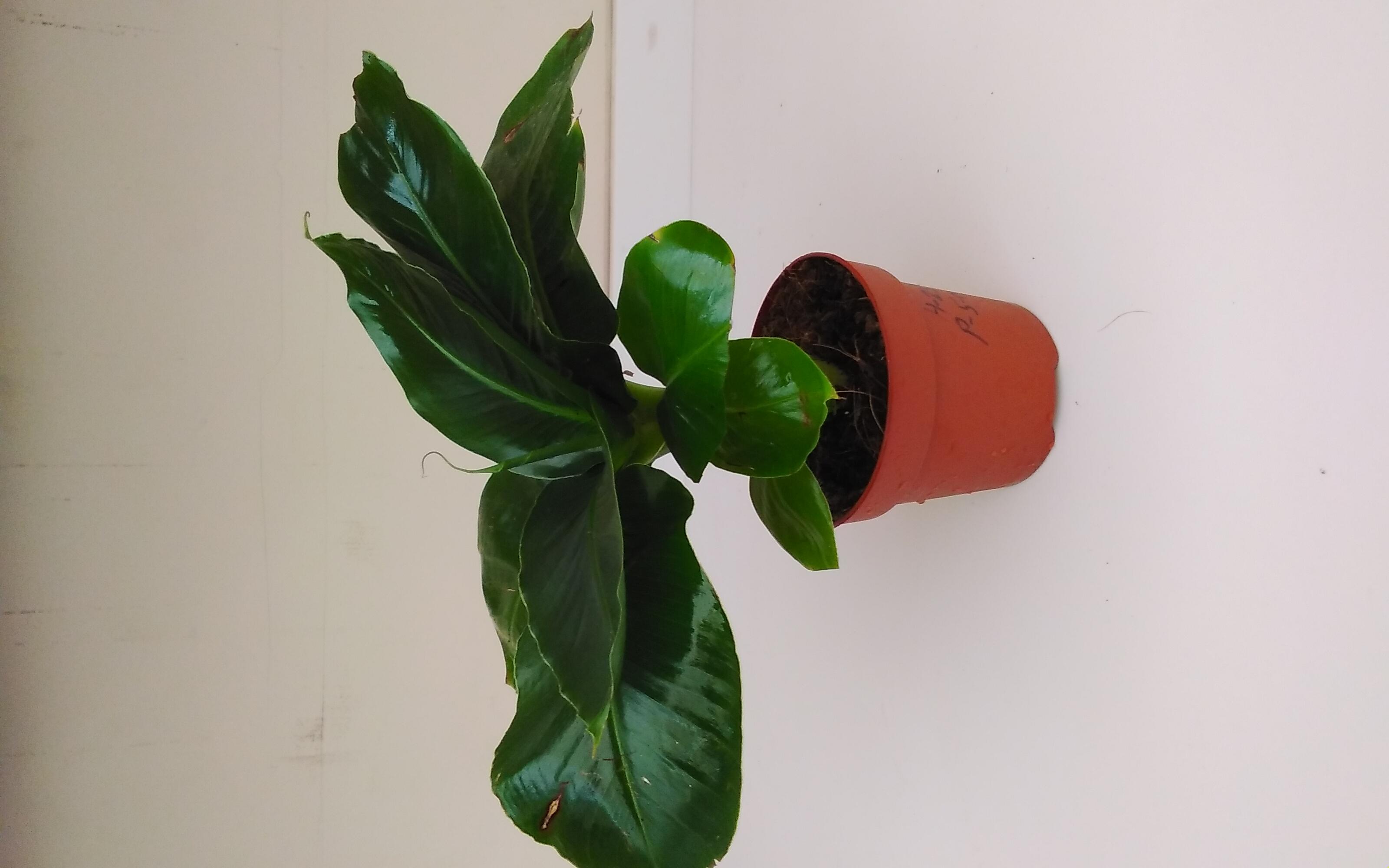 Musa Oriental Dwarf  'Indoor Plants'