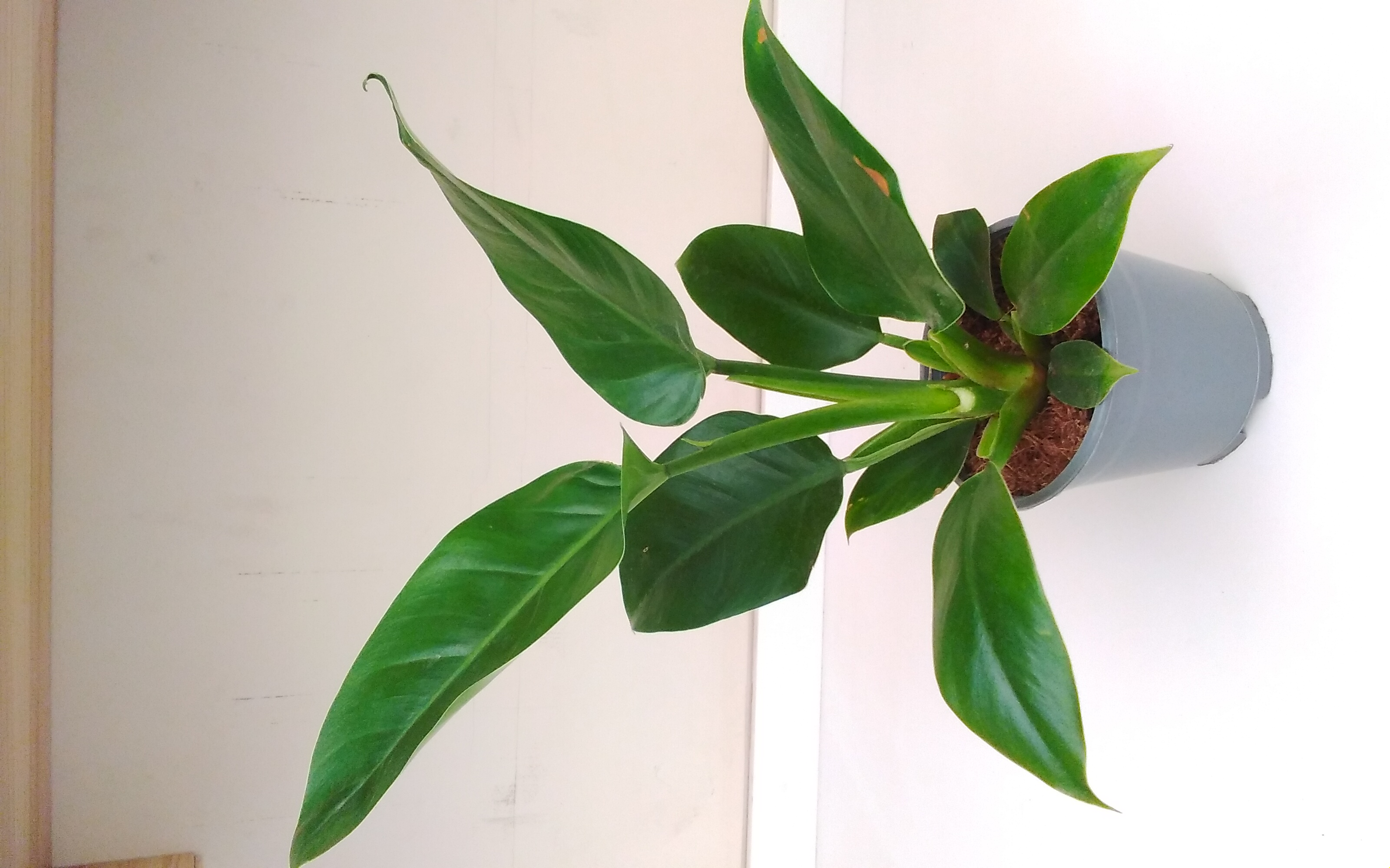 Philodendron Imperial Green 'Indoor Plants'