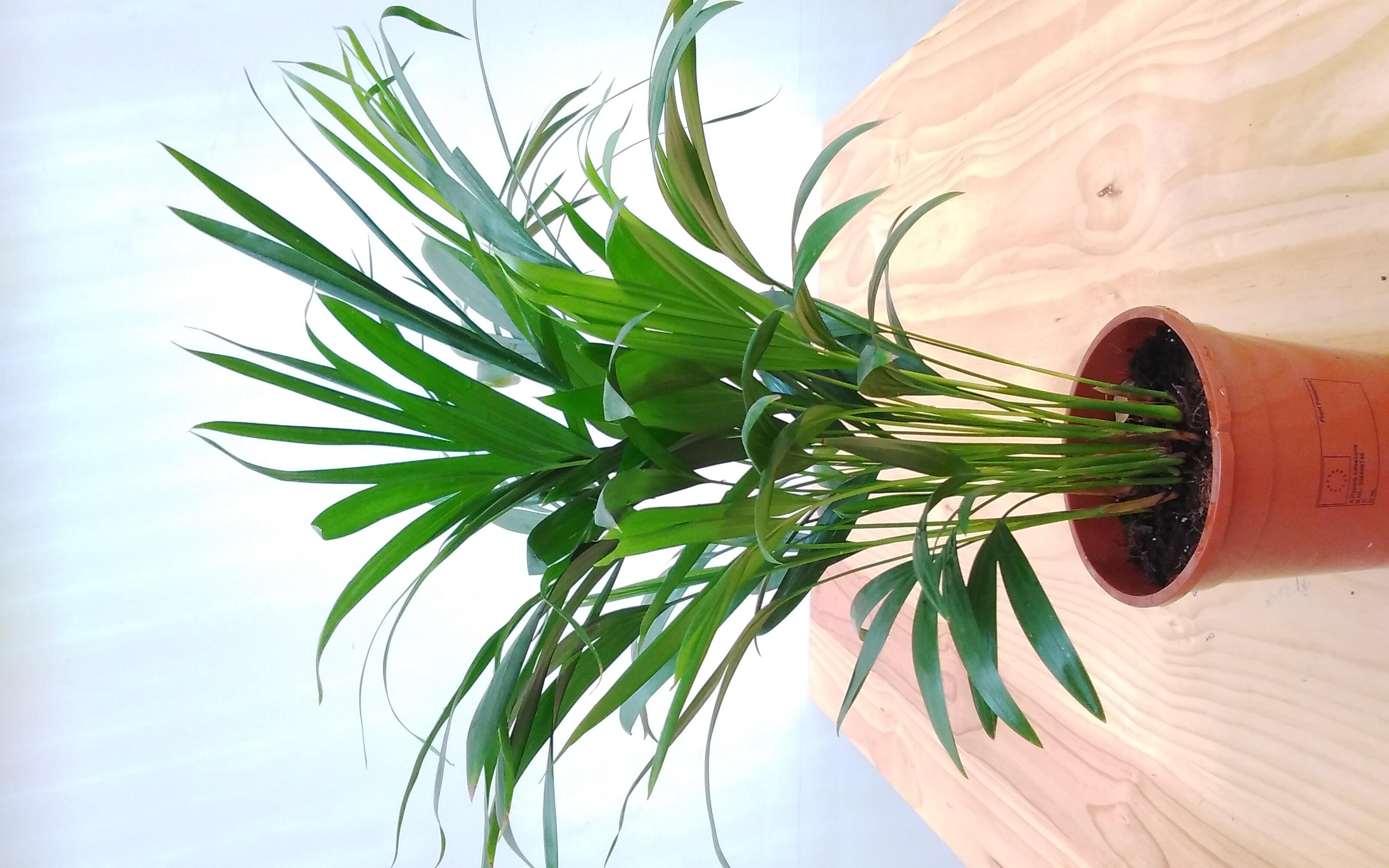 أريكا دايبسي 'نباتات داخلية'