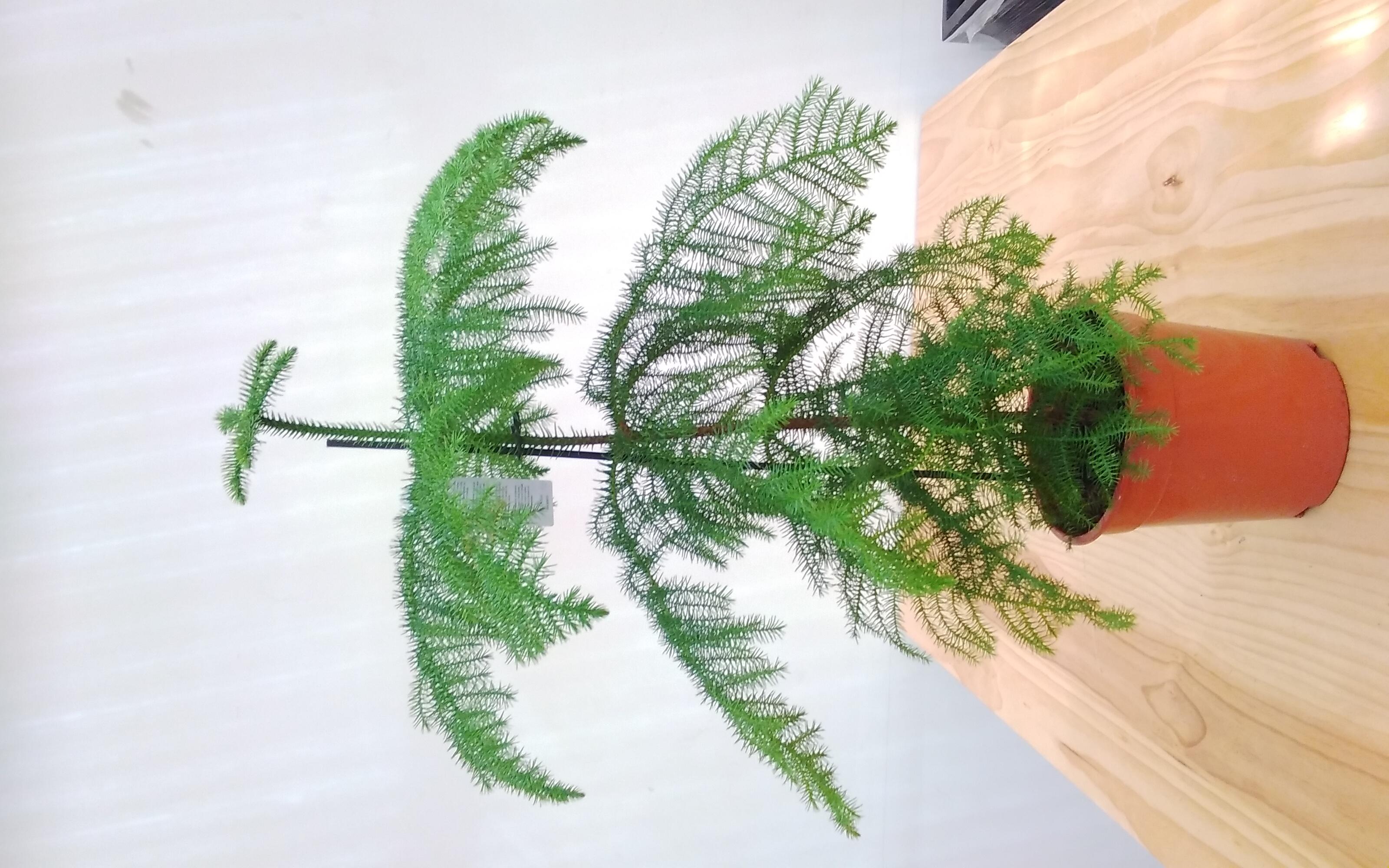 Araucaria Heterophylla.. Indoor Plants