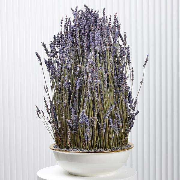 Lavender  Premium Collection